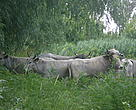 The herd of Ukrainian gray cattle in their new home.