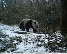 Giant panda captured in Wang Lang, Sichuan, China