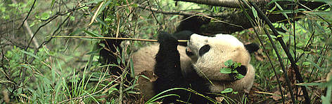 Panda in Qin Ling Mountains. rel=
