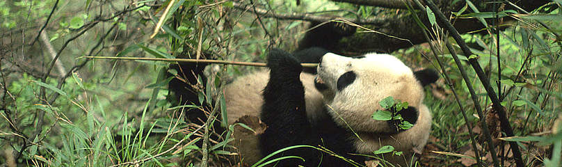 Panda in Qin Ling Mountains.  	© WWF / Chris HAILS
