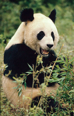 Giant panda in Wolong Nature Reserve, Minshan mountains