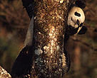 Ailuropoda melanoleuca Giant panda in a tree. Wolong Research Centre, Sichuan Province,