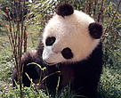 Giant Panda, 8 months old Male born 5.10.1994 Wolong, China May 1995
