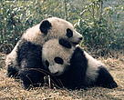 Ailuropoda melanoleuca. Two giant pandas DA DI and JIA LIN play together at the Wolong Research & Breeding Centre