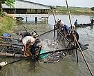 An Asian catfish harvest. Global sustainability standards governing Asian catfish farming now are in the final stage of development.