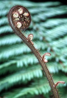 Opening of a fern with an opened fern as a background. In Maori culture, the opening of a fern ... / ©: WWF-Canon / Stéfane MAURIS