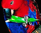Eclectus parrot. New Guinea, Indonesia.