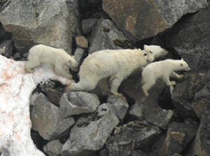 Bear 2183 and cubs on Svalbard