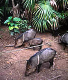Collared peccary (Pecari tajacu).  	© WWF / Anthony B. RATH