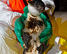A blue penguin (Eudyptula minor) rescued by WWF staff to be cleaned of contaminating oil and chemicals from the Rena oil spill.
