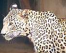 It is believed that only a few Persian leopards inhabit the Northern Caucasus region.