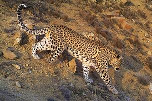 Leopards with amputated legs are found in the Caucasus