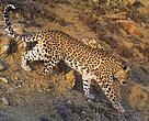 Persian leopard (male) with amputated leg