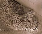 Triplets born in Sochi National Park breeding centre.