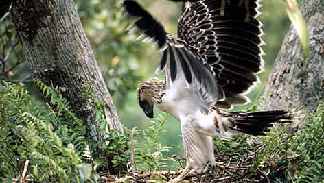 The Monkey-eating eagle or Great Philippine eagle (<i>Pithecophaga jefferyi</i>) with ... rel=