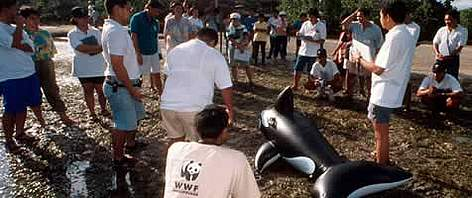 Marine Mammal Rescue team training by WWF consultants using fake whale. Puerto Princesa, Palawan ... rel=