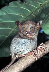Tarsius syrichta Philippine tarsier One of the smallest primates, this sub-species is endemic to ... / ©: WWF-Canon / Jürgen FREUND