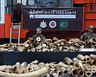 Illegal ivory stockpile ready for destruction in Bangkok