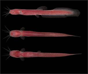 A blind and tiny, bright red new species of catfish that lives mainly in subterranean waters. Found in the state of Rondonia, Brazil, the fish Phreatobius dracunculus began to appear after a well was dug in the village of Rio Pardo, when they were accidentally trapped in buckets used to extract water. The species has since been found in another 12 of 20 wells in the region.