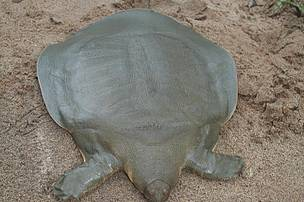 Soft shelled (Cantor's) turtle