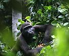 Gorilla in the habituation site