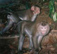 Pig-tailed macaque (Macaca leonine). / ©:  Barney Long / WWF / Quang nam Forest Protection Department