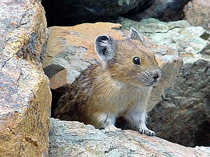 The American Pika (Ochotona princeps), could be the first mammal victim of climate change.  	© Mahalie Stackpole / Flickr.com CC