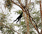 Pileated gibbon sighted in the Mekong Flooded Forest