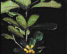 <I>Pittosporum tanianum</I>