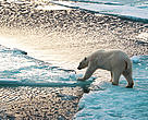 Polar bear (<i>Ursus maritimus</i>) walking on thin ice and trying to reach the next ice block.