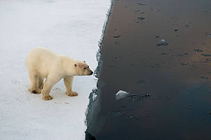 Polar bear (Ursus maritimus) on edge of an ice floe, Spitsbergen, Svalbard, Norway.