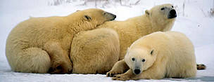 Polar Bears, female with cubs. Churchill, Manitoba Canada.