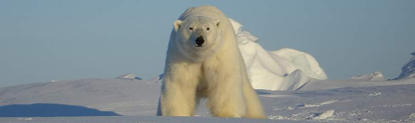 Polar bears in the southern Beaufort Sea are showing signs of vulnerability, such as diminished ...  	© Eric V. Regehr / USGS
