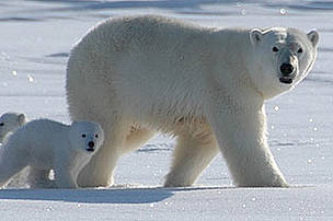 A polar bear (Ursus maritimus) and her cubs