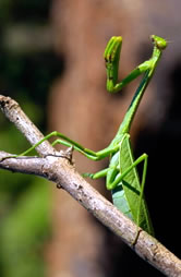 Praying mantis | WWF