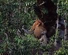 Proboscis monkeys are confined to the island of Borneo; they prefer coastal regions to inland areas and inhabit mangrove forest along rivers and estuaries, swamp-land, and lowland rainforest.