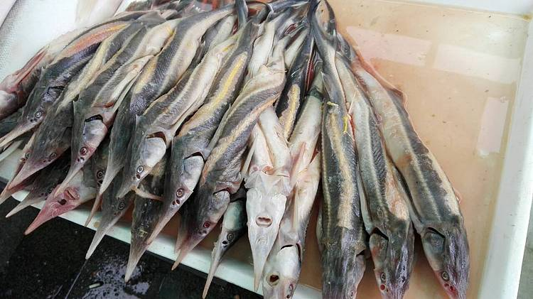 Fishing Sterlet in Serbia is officialy banned!