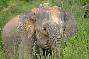 Long-term solutions needed  for conservation of Borneo pygmy elephants