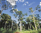Bolivia has certified more than two million hectares of its tropical forests. Rainforest, Manuripi National Wildlife Reserve, Pando, Bolivia.