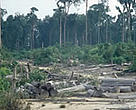 Clearing of tropical rainforest for paper industry, palm oil and other plantations, Tesso Nilo, Riau Province, Sumatra, Indonesia