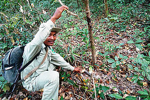Ranger disactivating a snare in the forest, Eastern Plains Landscape, Cambodia