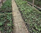 Seedlings grow in Cambodia¹s first rattan nursery in Preak Thnot commune, in Kampot Province.