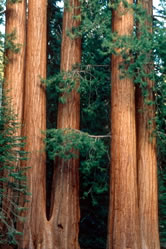 The Redwood Forest Wwf