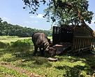The rescued rhino in Chitwan.