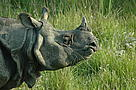 Chitwan National Park is home to the second largest population of greater one horned rhinoceros.