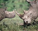 Rhino horn from Africa is highly prized in traditional Asian medicine.