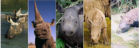 The 5 rhino species in Africa and Asia. Left to right: Greater one-horned rhino; black rhino; ... rel=
