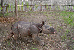 Orphan rhino settles into new home