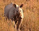 An adult rhino in Pobitora Wildlife Sanctuary, Assam
