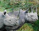 The number of black rhinos has gradually increased to around 3,600.